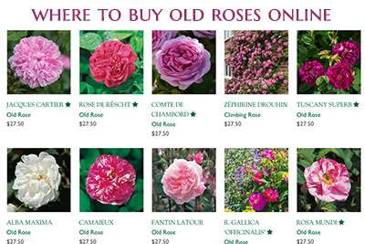 Where to Find and Buy Old, Antique and David Austin Roses Online
