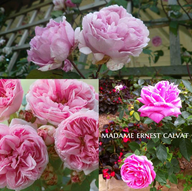 Madame Ernest Calvat - a Bourbon Rose