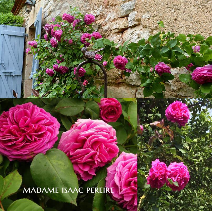Madame Isaac Pereire - a Bourbon Rose