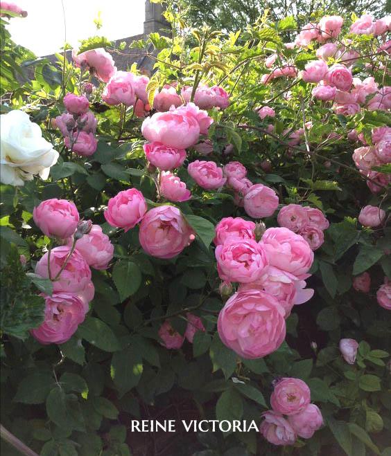 Reine Victoria - a Boubon Rose