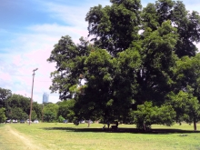 Heritage Oak Tree in Zilker Athletic Fields