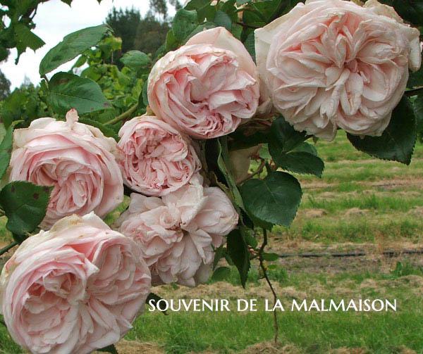 Souenir de la Malmaison - a Bourbon Rose
